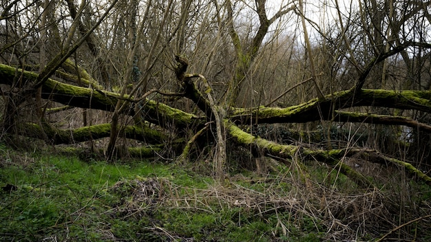 Creepy scenery in a forest with dry tree branches covered with moss