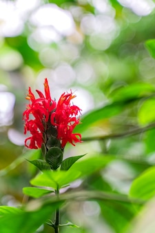 Crepe ginger, flowering plant native to southeast asia