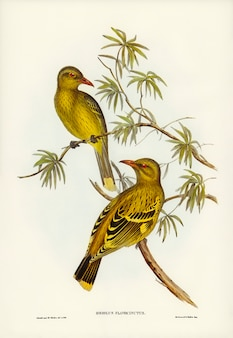 Crescent-marked Oriole  illustrated by Elizabeth Gould