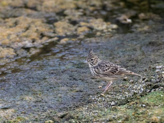 クレステッドヒバリ。その自然環境の中の鳥。