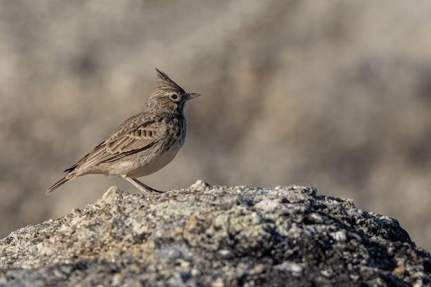 Хохлатый жаворонок. птица в естественной среде обитания.
