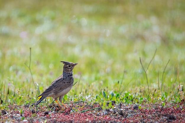 Хохлатая жаворонок. птица в естественной среде.
