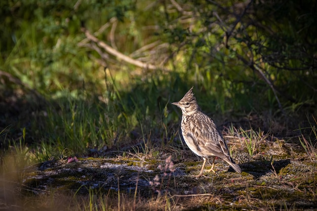 Crested lark bird in its natural environment