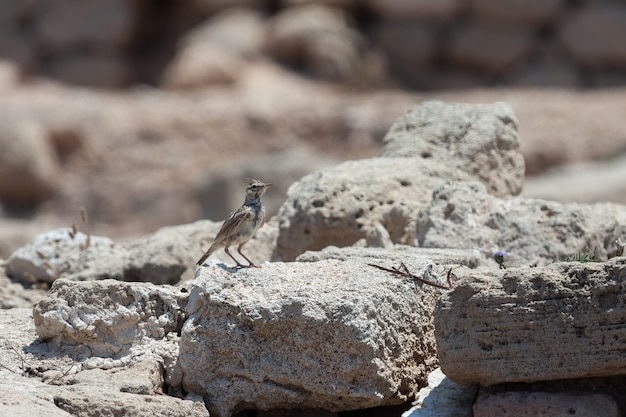 Crested lark (galerida cristata) among the ancient ruins at paphos cyprus