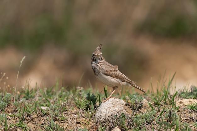 Crested lark galerida cristata in natural habitat.