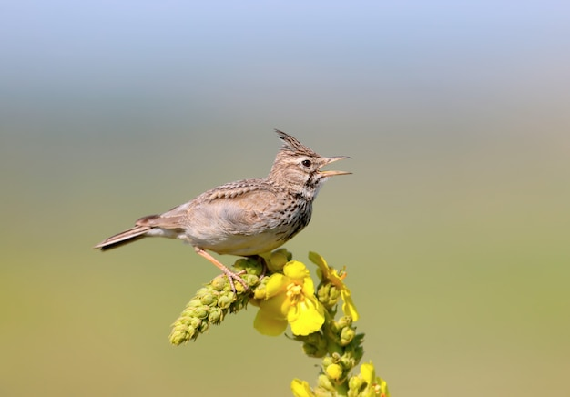Crested lark sits on a bright yellow plant
