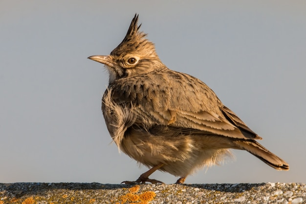 Crested lark sitting on a concrete near to village Premium Photo