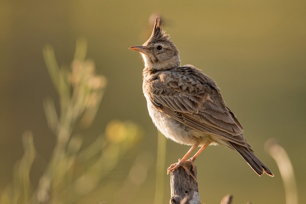 Crested lark sitting on a wooden stick.