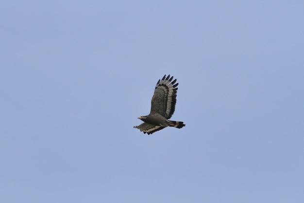Хохлатый змеиный орел