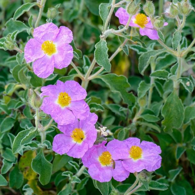Критская каменная роза (cistus creticus l.)