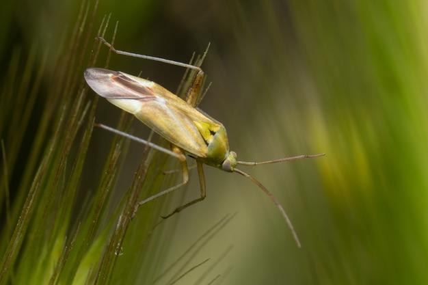 숲에서 밀 꽃의 끝에 귀뚜라미