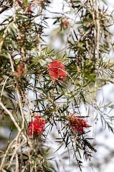 멜라루카 시트리나 종의 크림슨 병브러쉬 꽃