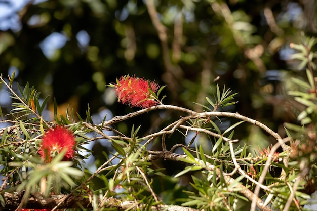 Crimson bottlebrush flower of the species melaleuca citrina