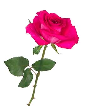 白い表面に分離された深紅色のバラの花