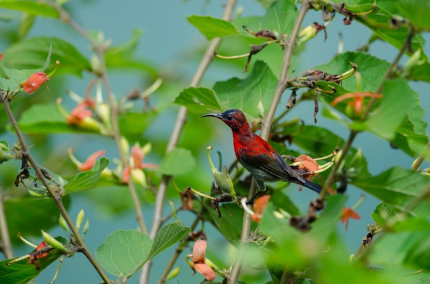 Crimson sunbird (aethopyga siparaja) perching on a branch in nature thailand