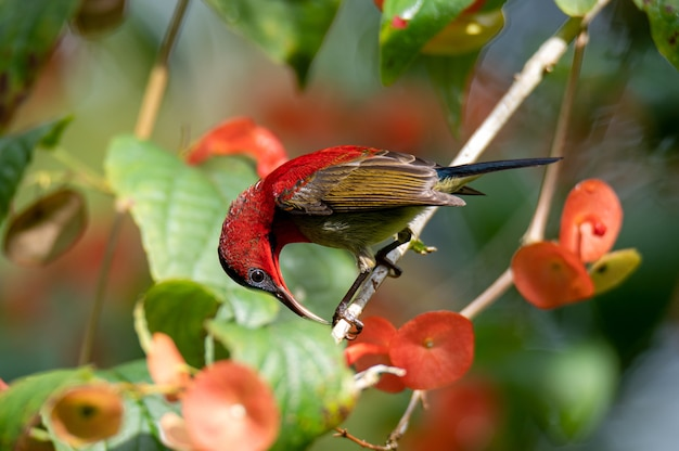 A crimson sunbird on chinese hat plant with flowers, closed up