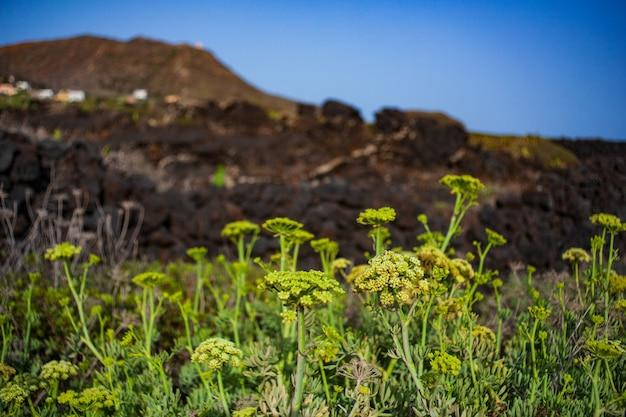 Crithmum maritimumは、リノザ島のサンファイアまたはシーフェンネルとして知られています。シチリア島