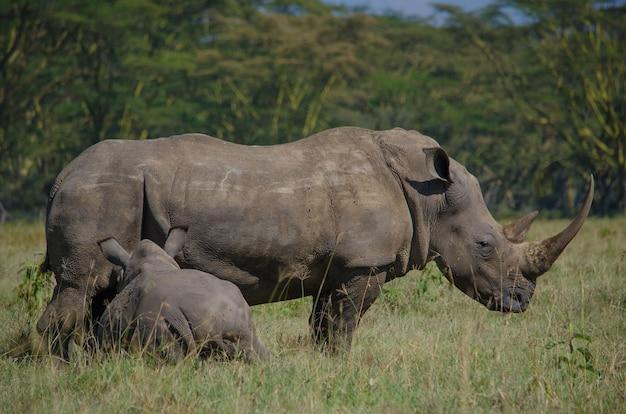東アフリカで絶滅危惧種のアフリカのクロサイ