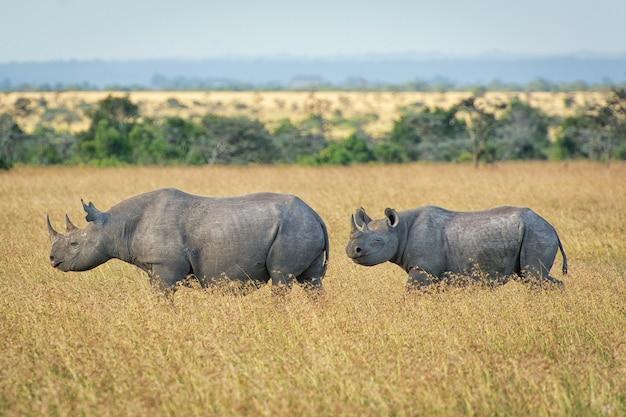동 아프리카에서 비판적으로 멸종 위기에 처한 아프리카 검은 코뿔소