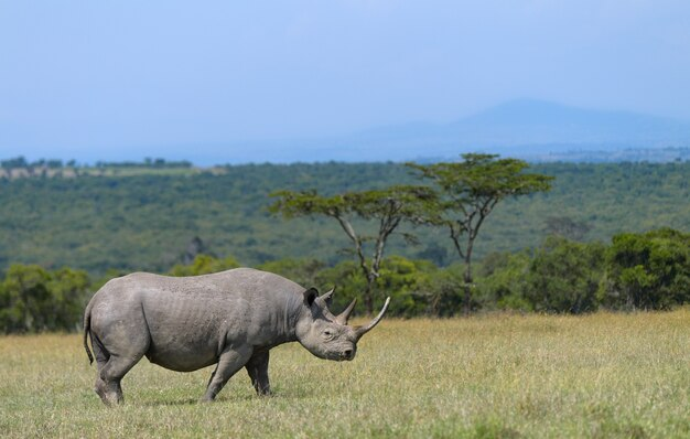 Африканский черный носорог, находящийся под угрозой исчезновения, в восточной африке
