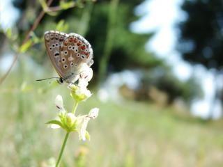 Croatian butterfly