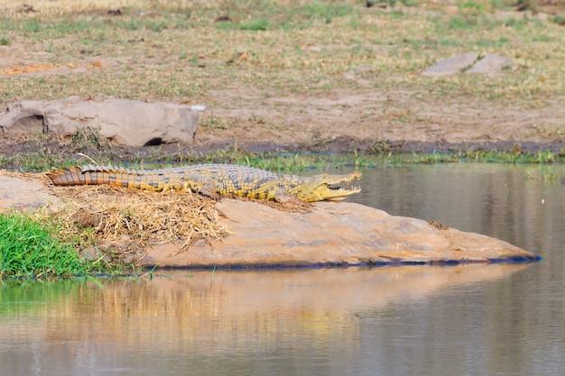 クロコダイルは南アフリカのクルーガー国立公園からクローズアップ。サファリと野生生物。