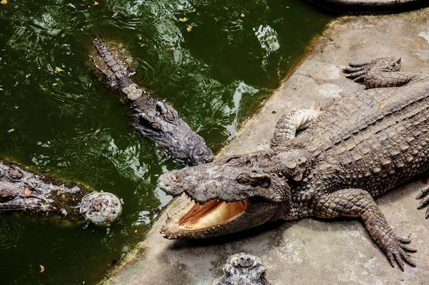 Crocodile in farm with sunlight.