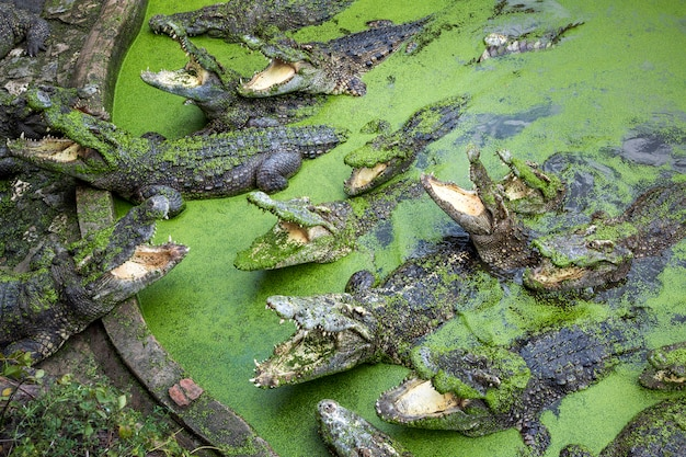 Crocodile in the farm