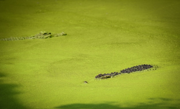 Crocodile floating in water river and waiting for the prey large freshwater crocodile in farm