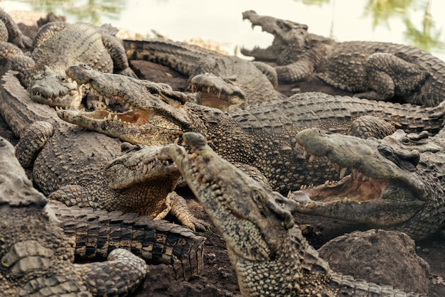 Стая крокодилов на крокодиловой ферме
