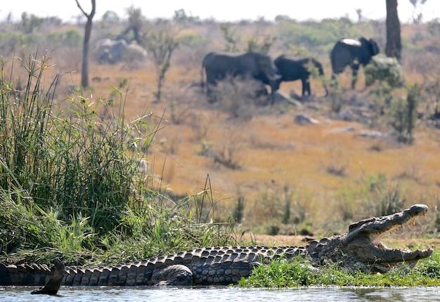 Крокодил в национальном парке крюгера - южная африка
