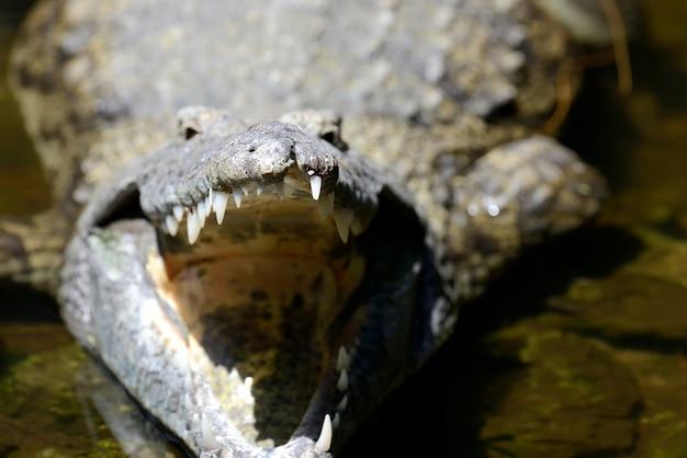 Крокодил в национальном парке кении, африка
