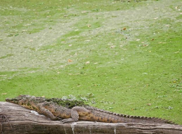 Крокодил в южной луангве - замбия