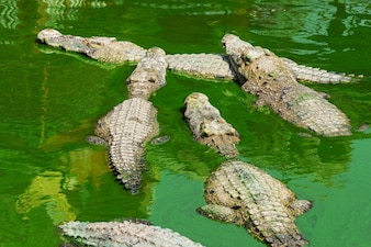 крокодил в Таиланде