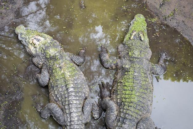 Крокодил в болоте.
