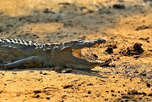 Крокодил в дикой природе на острове шри-ланка