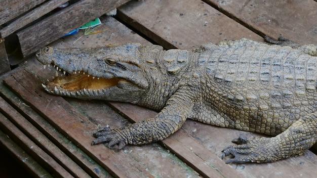 Крокодил в озере тонлесап в сиемреапе, камбоджа.