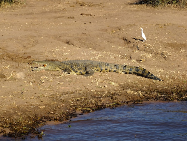 ザンベジ川、ボツワナ、アフリカのワニ