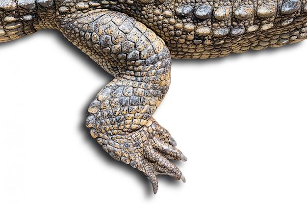 Изолированный крокодил