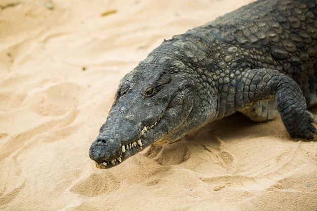Crocodile on light sand close up detail