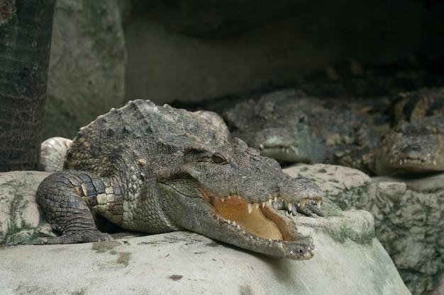 Crocodile lying on the rocks in the zoo
