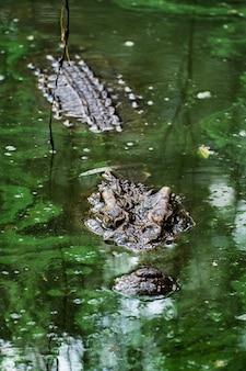 Crocodile in the marsh