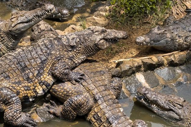 Крокодиловый парк на острове маврикий. природный парк ла ваниль. крокодилы