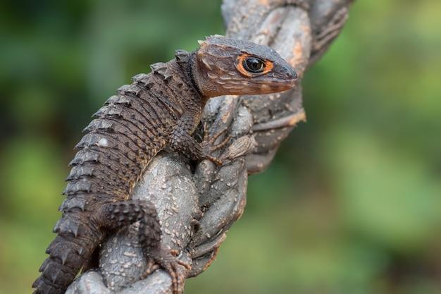 나뭇 가지에 악어 skink 도마뱀