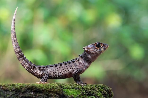 Крокодиловый сцинк загорает на мхе, крокодиловый сцинк крупным планом, вид сбоку кокодиловый сцинк