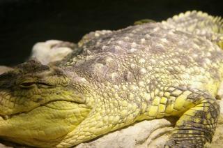 Crocodile, strength