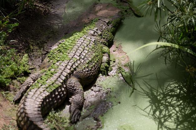 Крокодил терпеливо ждет добычу в квинсленде,