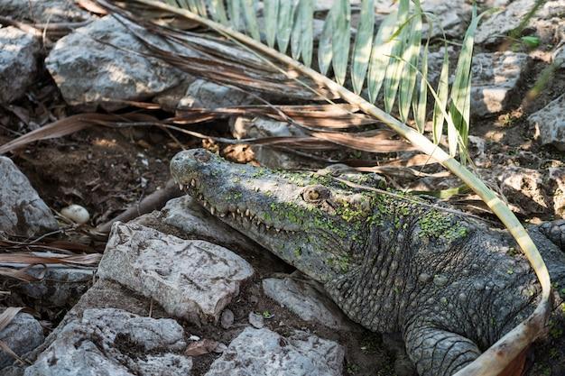 Crocodile watching over her egg