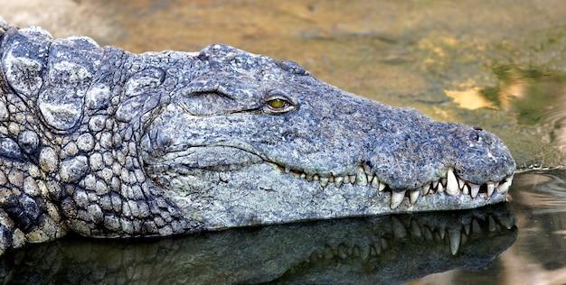 Крокодил с головой над водой, охотящийся за едой