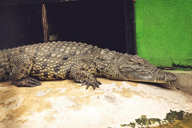 Crocodile in the zoo big crocodile near the pool